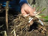Ramps (Allium Tricoccum)